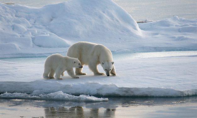 De ijsbeer is het 'coolste' wilde dier van 2018